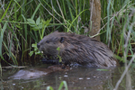 A Beaver grabs some leaves.  5829 drive 8