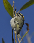 A Golden-crowned Kinglet clings to a branch.  8045 drive 9