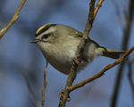 A Golden-crowned Kinglet perches on a branch.  8050 drive 9