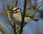 A Golden-crowned Kinglet perches on a branch.  8053 drive 9