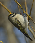 A Golden-crowned Kinglet clings to a branch.  8057 drive 9