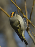 A Golden-crowned Kinglet clings to a branch.  8059 drive 9