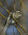 A Golden-crowned Kinglet perches on a branch.  8060 drive 9