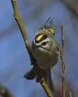 A Golden-crowned Kinglet perches on a branch.  8062 drive 9