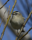 A Golden-crowned Kinglet perches on a branch.  8065 drive 9