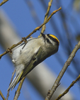 A Golden-crowned Kinglet clings to a branch.  8066 drive 9