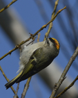 A Golden-crowned Kinglet clings to a branch.  8068 drive 8