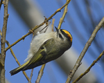 A Golden-crowned Kinglet clings to a branch.  8072 drive 9