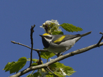 A Golden-winged Warbler perches in a hawthorn tree.  5892 drive 9
