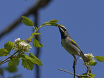 A Golden-winged Warbler feeds in a Hawthorn tree.  5896 drive 9