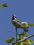 A Golden-winged Warbler perches in a Hawthorn tree.  5902 drive 9