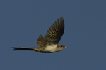 A Black-billed Cuckoo flies by.  9155 drive 9