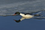 A Common Merganser dives into the icy water.  