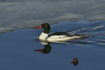 A Common Merganser swims in the icy water.