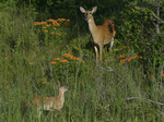 A White-tailed Deer doe and fawn stand in oak savanna with Butterflyweed in full bloom.  