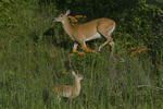 A White-tailed Deer doe and fawn move about in oak savanna with blooming Butterflyweed.