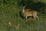 A White-tailed Deer doe and fawn move about in oak savanna with Butterflyweed in full bloom.  
