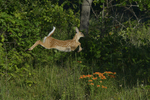 A White-tailed Deer fawn leaps in oak savanna with Butterflyweed in full bloom.