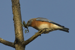 An Eastern Bluebird has a hold of a praying mantis insect to eat.  10203 drive 8