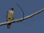 A Peregrine Falcon perches on a branch.  216 drive 9