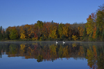 A pair of Trumpeter Swans swim along on a northern Wisconsin USA lake in the Fall.  334 drive 9