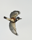 A Belted Kingfisher flies up and away.  96 drive 9