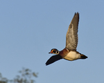 A Wood Duck flies by.  465 drive 9
