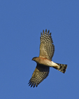 A Sharp-shinned Hawk flies over.  386crv d9