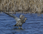 A Gadwall lands on the water.  9823 drive 9