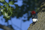 A Red-headed Woodpecker clings up on high to a tree.  9137 drive 9