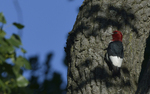 A Red-headed Woodpecker clings up high on a tree.  9138 drive 9
