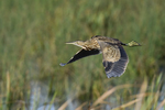 An American Bittern flies over a marsh.  