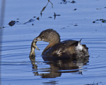 A young Pied-billed Grebe comes up with a frog in the Fall.  567 drive 9