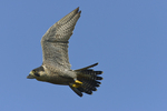 A Peregrine Falcon flies by.  232 drive 9