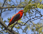 A Scarlet Tanager perches in an Oak tree.