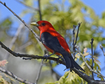 A Scarlet Tanager perches on a dead branch.