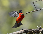 A Scarlet Tanager flies up from its perch.  