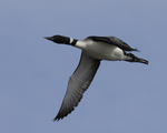 A Common Loon flies over.  910 drive 1