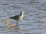 A Willet stands in shallow water.  6571 drive 9