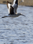 A Willet flies over a shallow wetland.  