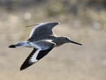 A Willet flies by.  6573 drive 9
