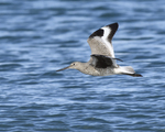 A Willet flies by.  6580 drive 9
