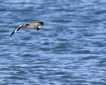 A Willet flies over the water.  6581 drive 9