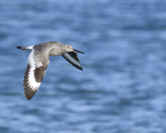A Willet flies over the water.  6582 drive 9