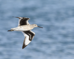 A Willet flies by over a lake.  6584 drive 9