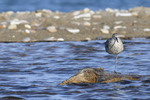 A Willet sleeps standing on one leg.  6589 drive 9