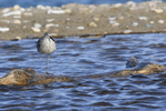 A Willet stands on one leg as it rests on a log.  