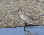 A Willet walks near shore searching for food.  