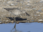 A Willet feeds along the shore.  6659 drive 9
