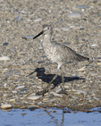 A Willet walks along the shore.  6686 drive 9